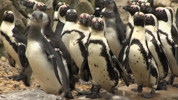 Burgers' Zoo Natuurlijk De pinguïn