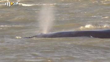 RTL Nieuws Walvis gestrand in Waddenzee