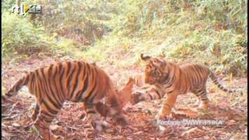RTL Nieuws Zeldzame tijgers in beeld