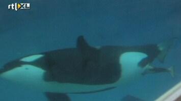 Editie NL Gaaf: geboorte van baby-orka