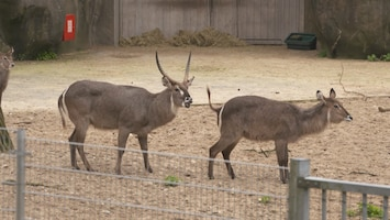 Burgers' Zoo Natuurlijk De waterbok