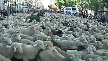 RTL Nieuws Schapenparade dwars door Madrid