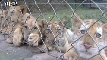 RTL Nieuws Leeuwtjes en tijgertjes samen in dierentuin