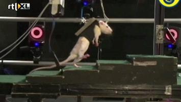 Editie NL Rat met dwarslaesie kan lopen