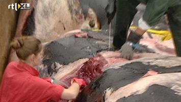 RTL Nieuws Aangevaren walvis blijkt jong van een jaar