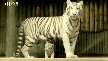 RTL Nieuws Lief, witte tijgerwelpjes in dierentuin