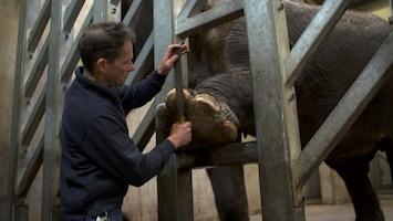 Burgers' Zoo Natuurlijk De Aziatische olifant: pedicure