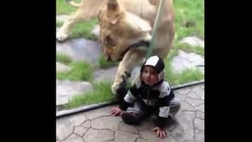 RTL Nieuws Leeuw probeert kind op te eten
