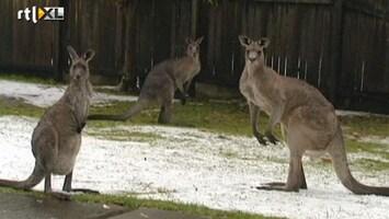 RTL Nieuws Kangoeroes bibberen in lentesneeuw