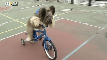 RTL Nieuws Grappig: Hond kan fietsen en steppen