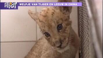 Editie NL Super zeldzaam: tijgerleeuw geboren