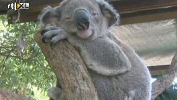 RTL Nieuws Koala-ziekenhuis in Australië