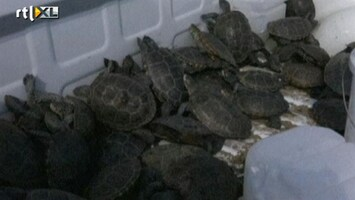 RTL Nieuws Schildpadden blokkeren luchthaven