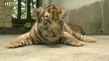 RTL Nieuws Dierentuin toont tijgerwelpjes