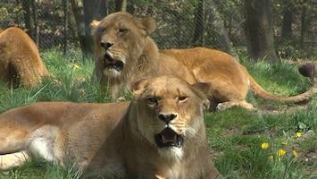 Burgers' Zoo Natuurlijk De leeuw