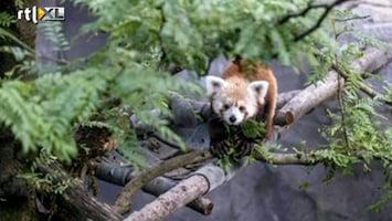 RTL Nieuws 'Amber alert' voor ontsnapte wasbeer