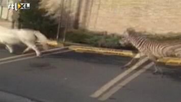 RTL Nieuws Pony en zebra galloperen vrij door Staten Island