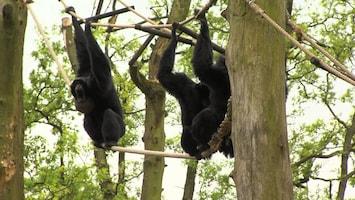 Burgers' Zoo Natuurlijk De siamang