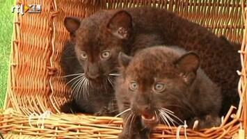 RTL Nieuws Zoo Berlijn laat voor het eerst zwarte babypanters zien