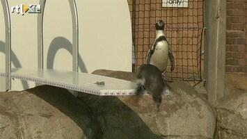 RTL Nieuws 'Olympische' duikplank voor pinguïns Londen