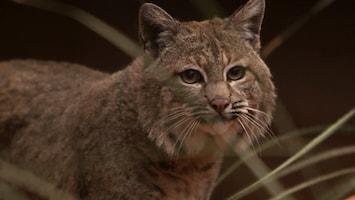 Burgers' Zoo Natuurlijk - De Bobcat