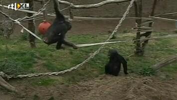 RTL Nieuws Koppelpoging voor eenzame chimpansees