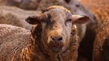 RTL Nieuws Veel dieren slachtoffer bosbranden Australië