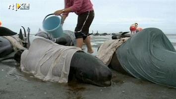 RTL Nieuws Walvissen aangespoeld in Nieuw-Zeeland