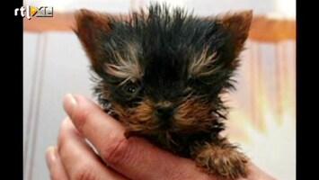Editie NL Schattig! kleinste hondje ter wereld