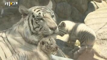 RTL Nieuws Dierentuin Tokio toont welpjes witte tijger