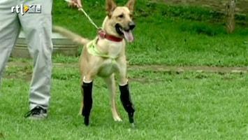 Editie NL Gruwelijk verminkte hond loopt weer!