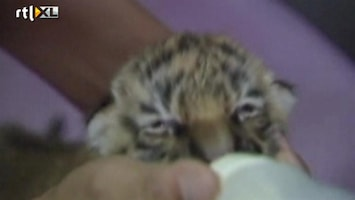 RTL Nieuws Poeslief pasgeboren Siberisch babytijgertje