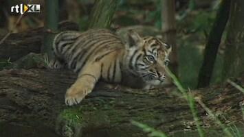 RTL Nieuws Drie tijgerwelpjes voor eerst buiten
