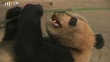 RTL Nieuws Exclusieve thee groeit op pandapoep