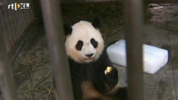 RTL Nieuws Schattig: Eerste zomer voor babypanda's