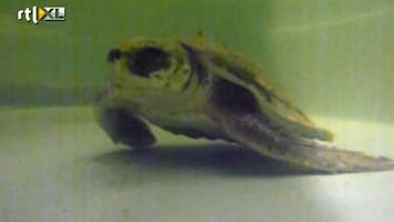 RTL Nieuws Zeldzame schildpad spoelt aan bij Monster