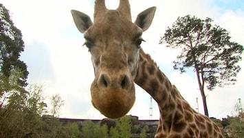 Burgers' Zoo Natuurlijk De giraffe