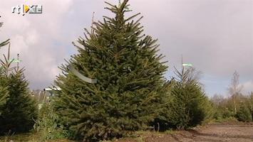 RTL Nieuws Kerstbomen uit de grond