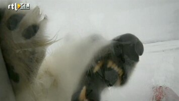Editie NL Ijsbeer van dichtbij...
