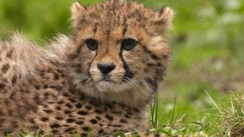 Burgers' Zoo Natuurlijk De cheeta-zesling