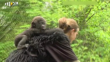 RTL Nieuws Gorillababy in menselijk pleeggezin