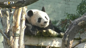 RTL Nieuws Panda zwanger of niet? Schotland wacht in spanning af