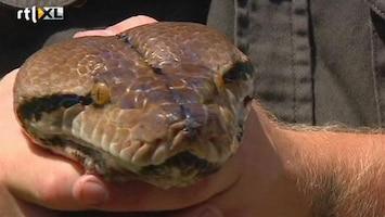 RTL Nieuws Dikste python Australië op dieet