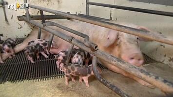 RTL Nieuws Weg met de kiloknaller, varkens worden duurzaam