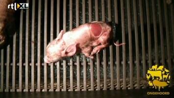 RTL Nieuws Geschokt na beelden gewonde varkens