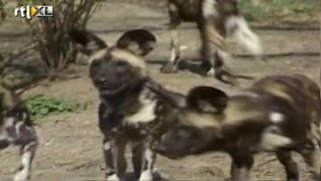 RTL Nieuws Peuter in dierentuin door honden verscheurd