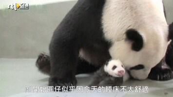 RTL Nieuws Baby panda eindelijk herenigd met moeder