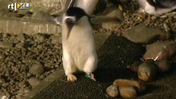 RTL Nieuws Manke pinguin zoekt schoentje
