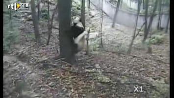 RTL Nieuws Panda's in paniek door aardbeving