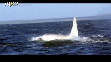 Editie NL Primeur! Witte orka gespot